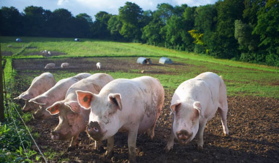 Pig poop into fuel technology